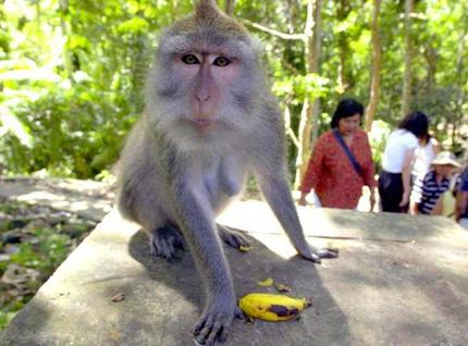ubud_monkey_wideweb__430x318,0