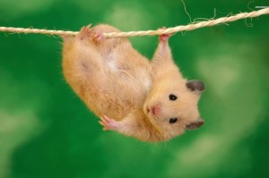 hamsters-ropes-485x728